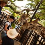 feeding giraffes at the Houston Zoo