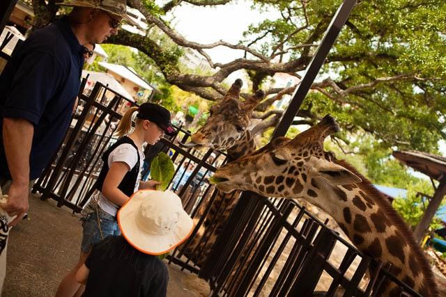 Just Feeding Giraffes