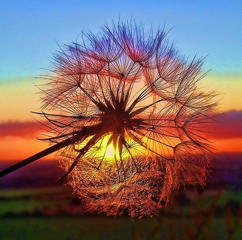 sunrise dandelion on tumblr